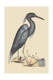 Blue Heron Poster by Mark Catesby