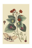 Caryophyllus - Dianthus and Moth Print by Mark Catesby