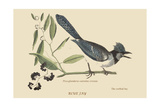 Crested Blue Jay Plakat af Mark Catesby