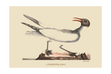 Laughing Gull Art by Mark Catesby