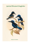 Halcyon Stictolaema - Spotted-Throated Kingfisher Posters by John Gould