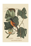 Baltimore Oriole Art by Mark Catesby