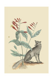 Gray Fox Prints by Mark Catesby