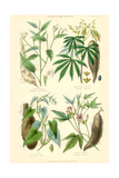 Plants Used as Food. Arrow Root, Cassava, Yam, Sweet Potato Prints by William Rhind
