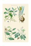 Medicinal Plants. Ipecacuan, Squill, Sarsaparilla, Copaiba Prints by William Rhind
