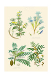 Gum Plants. Gum Arabic, Tragacanth, Olibanum, Mastic Poster by William Rhind