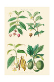 Plants Unused as Food. Coffee, Tea, Chocolate, Breadfruit Print by William Rhind