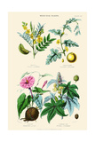 Medicinal Plants. Senna, Colocynth, Jalap, Castor Oil Print by William Rhind