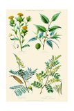 Plants Used in Dyeing. Safflower, Fustic, Brazil Wood, Logwood Print by William Rhind