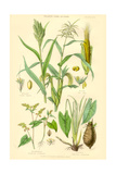 Plants Used as Food. Millet, Maize, Buckwheat, Taro Prints by William Rhind