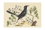Red Legged Thrush Art by Mark Catesby