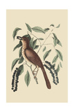 Fox Colored Thrush Affiches par Mark Catesby