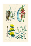 Medicinal Plants. Rhubarb, Aloe, Gentian, Cajeput Art by William Rhind