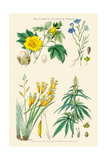 Plants Used in Clothing and Cordage. Cotton, Flax, New Zealand Flax, Cannabis Poster by William Rhind