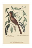 Fox Colored Thrush Poster by Mark Catesby