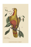 Parrot of Paradise of Cuba Stampe di Catesby, Mark
