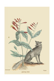 Gray Fox Print by Mark Catesby