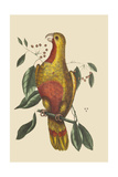 Parrot of Paradise of Cuba Poster di Catesby, Mark