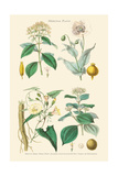 Medicinal Plants. Opium Poppy, Peruvian Bark, Scammony, Nux Vomica Posters by William Rhind