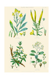 Plants Used in Dyeing. Woad, Weld, Madder, Sumach Prints by William Rhind