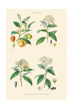 Spice Plants. Nutmeg, Cinnamon, Clove, Allspice or Pimento Prints by William Rhind