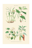 Spice Plants. Ginger, Black Pepper, Caper, Cayenne Pepper Posters by William Rhind