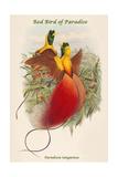 Paradisea Sanguinea - Red Bird of Paradise Prints by John Gould