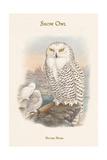 Nyctea Nivea - Snow Owl Prints by John Gould