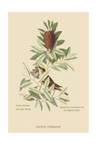 Little Thrush Posters by Mark Catesby