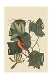 Baltimore Oriole Posters by Mark Catesby