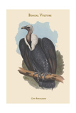 Gyps Bengalensis - Bengal Vulture Prints by John Gould