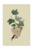 White Dutch Currant Prints by William Hooker