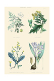 Vegetable Poisons. Common Hemlock, Henbane, Strong Scented Lettuce, Meadow Saffron Print by William Rhind