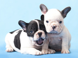 French Bulldogs Puppy Posters by  Lilun