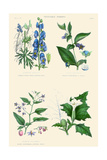 Vegetable Poisons. Wolf's Bane or Monk's Hood, Deadly and Woody Nightshade, Thorn or Jimson Apple Prints by William Rhind
