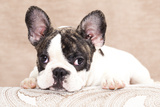 French Bulldog Puppy , 3 Months Photographic Print by  Lilun
