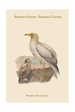 Neophron Percnopterus - Egyptian Vulture - Pharoah's Chicken Reproduction giclée Premium par John Gould