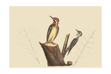 Yellow Bellied Woodpecker Posters by Mark Catesby