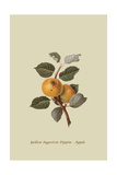 Yellow Ingestrie Pippin - Apple Prints by William Hooker