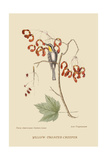 Yellow Throated Creeper Poster by Mark Catesby