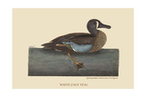 White Face Teal Posters by Mark Catesby