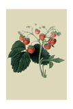 Wilmot's Late Scarlet Strawberry Prints by William Hooker