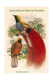 Paradisea Decora - Grey-Chested Bird of Paradise Posters by John Gould