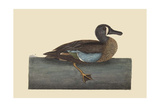 White Face Teal Prints by Mark Catesby