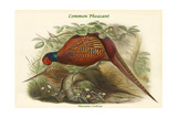 Phasianus Cochicus - Common Pheasant Posters by John Gould