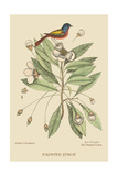 Painted Finch Prints by Mark Catesby