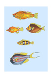 Rarest Curiosities of the Fish of the Indies Posters by Louis Renard