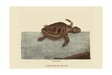 Loggerhead Turtle Prints by Mark Catesby