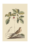 Whipoorwill Prints by Mark Catesby