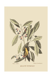 Yellow Titmouse Print by Mark Catesby